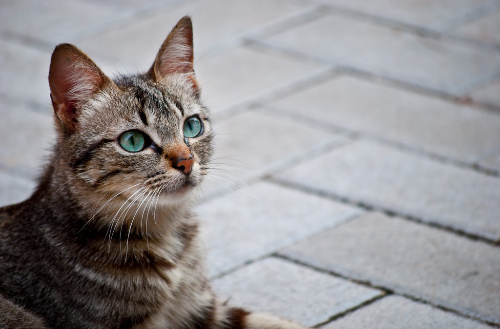 A Brief History of the Domestic Cat
