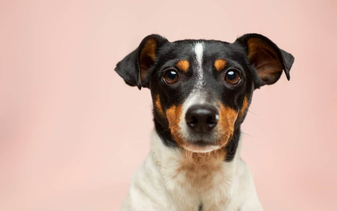 do dogs have emotions - terrier